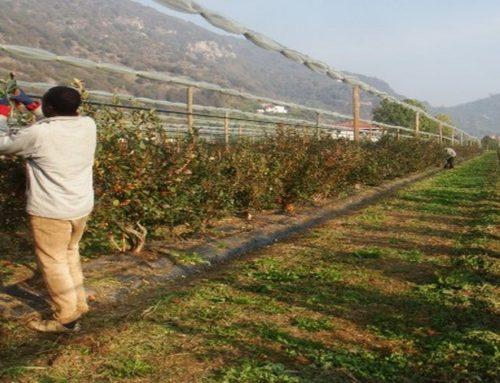 Tre arresti per caporalato nel Saluzzese: migranti della frutta pagati meno di 5 euro all'ora